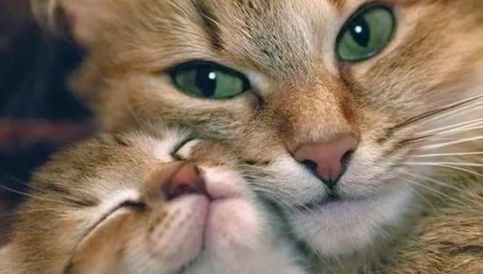 Вязка породистых кошек
