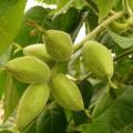 маньчжурский-орех