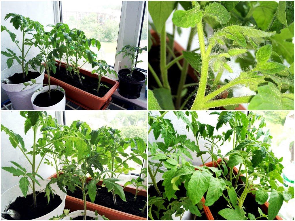 vyrashhivaem-komnatnye-pomidory-pravilno